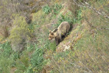 Tras la huella del oso