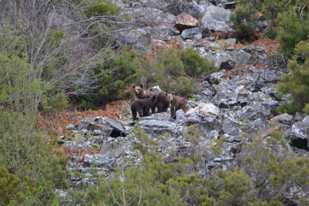 Intento de observación del oso