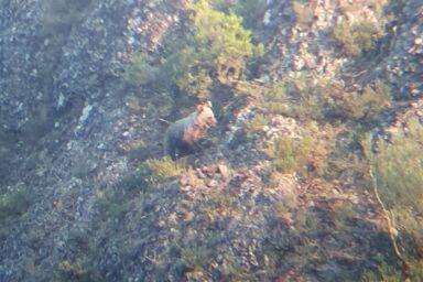 Avistamiento de oso pardo cantábrico